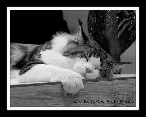 4739_CFA World Cat Show