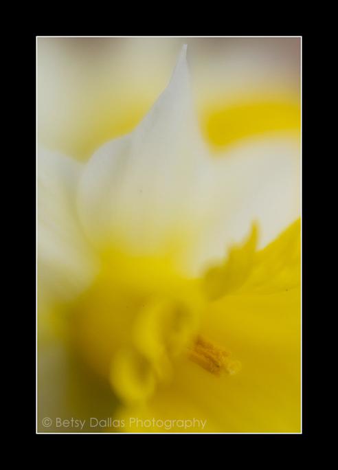 5031_Daffodil 2015