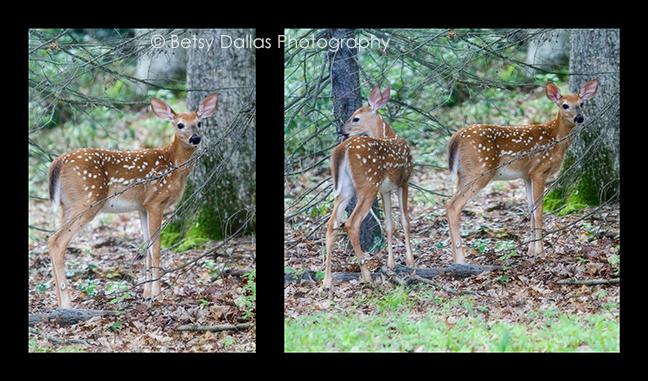 Deer Collage Jul 14 2015